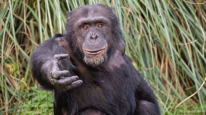 Niki the chimp at ZSL Whipsnade Zoo