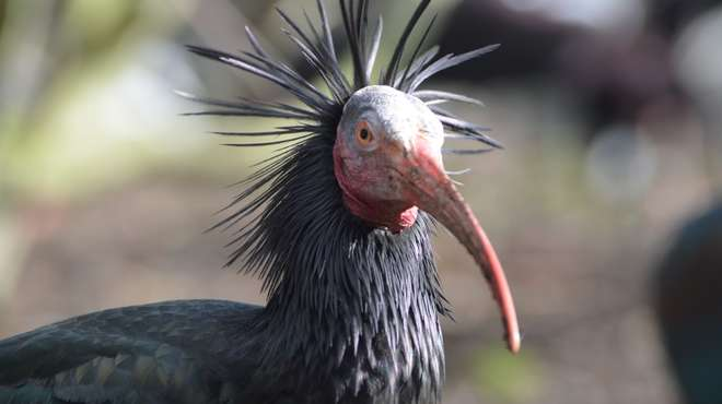 A northern bald ibis at ZSL London Zoo