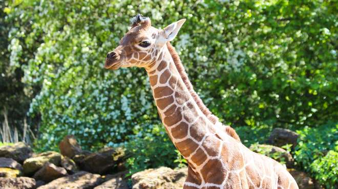 Giraffe calf Khari outside in the sunshine
