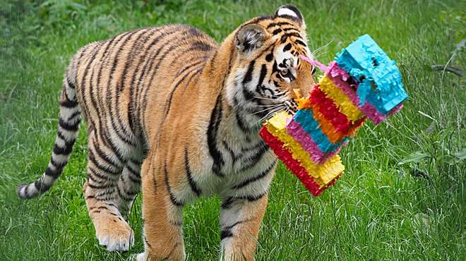 Amur tiger cubs at ZSL Whipsnade Zoo celebrate first birthday