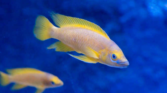 A lemon cichlid from Lake Tanganyika in Africa