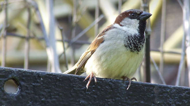 Close up photo of a house sparrow perched on top of a metal fence