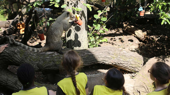 Coatis enjoy housewarming gifts to celebrate the opening of Animal Adventure