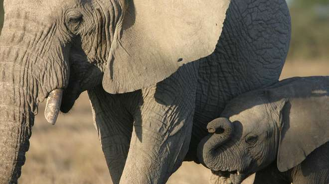 Tight cropped photo of a young African elephant stood next to it's mother.