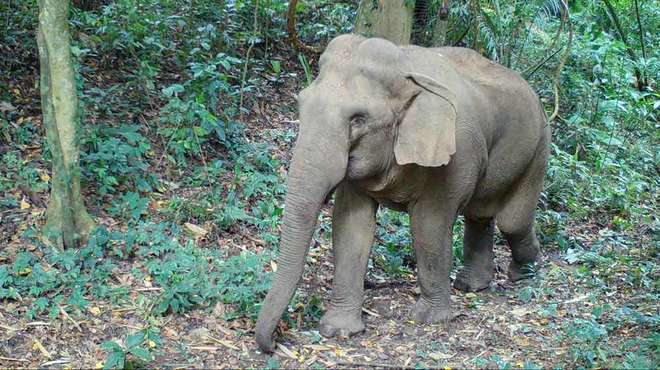 Photo - Cameratrap image of an Asian elephant in a forest in Thailand