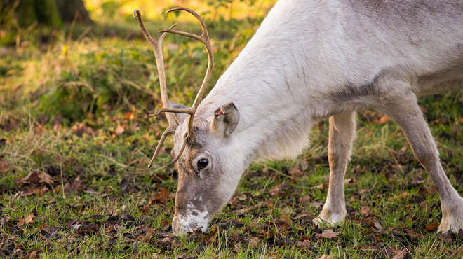do male reindeer shed antlers