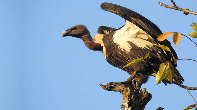 Photo - A white-rumped vulture perched on a tree branch and stretching it's wings