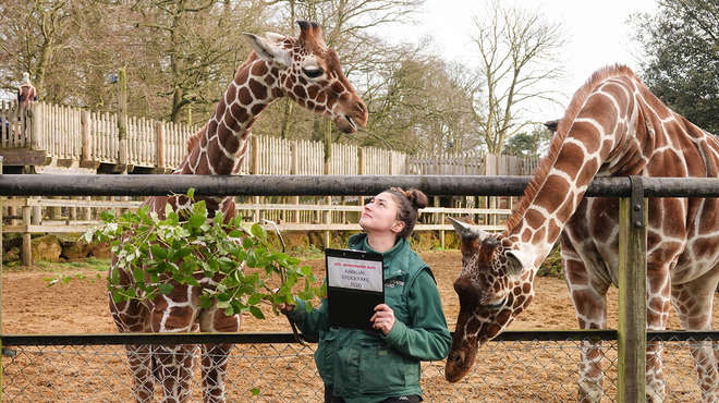 Giraffes are counted in the annual stocktake at ZSL Whipsnade Zoo