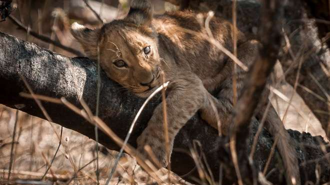 Photo - A wild lion cub resting on a large tree branch on the ground, looking into the camera