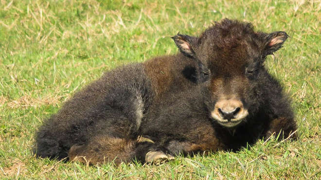 An adorable yak calf has been born at ZSL Whipsnade Zoo