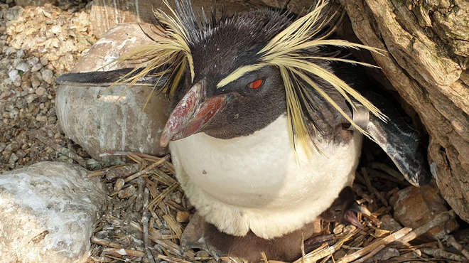 rockhopper penguin with baby