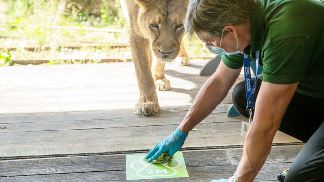 Zookeeper in mask with lion behind him lays 2m distancing sign on floor