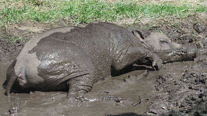 A babirusa pig in the mud at ZSL London Zoo