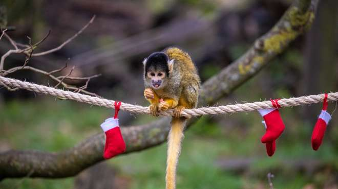 A squirrel monkey enjoys treats hidden in Christmas stockings at ZSL Whipsnade Zoo