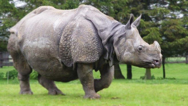 Asian rhino, from rhinos of Nepal