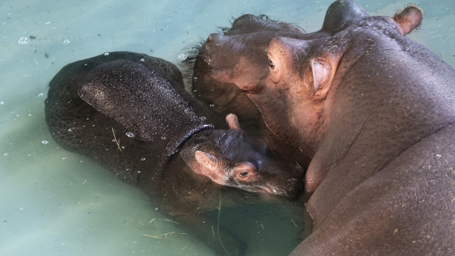 A baby common hippo - Nelly