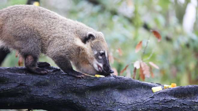 Young coati at animal adventure