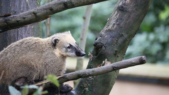 Young coati at Animal Adventure tree tops