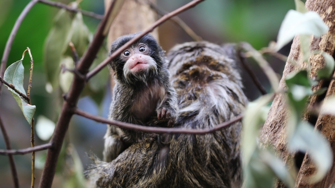 Baby emperor tamarin at ZSL London Zoo