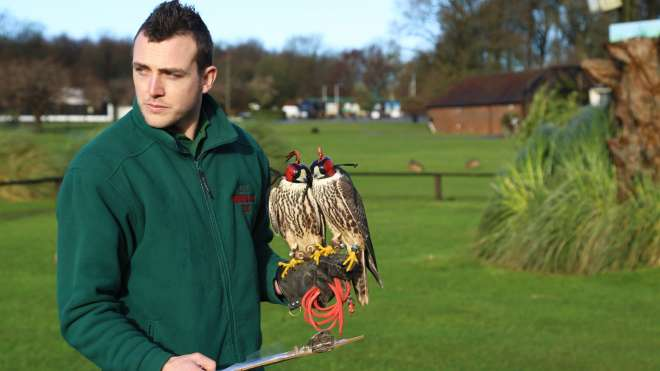 A zookeeper counts falcons, stars of the free-flying Birds of the World demonstration
