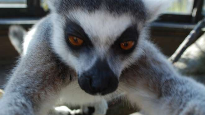 Bekily, a 12-year-old male ring tail lemur, taking a selfie