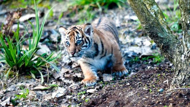 tiger cub outside