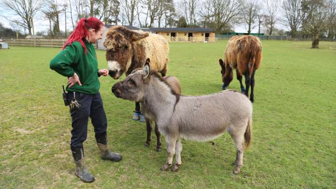 Miniature donkeys Trevor and Tulip with their Keeper Alex Pinnell, stood near larger donkeys at the Hullabazoo Farm.