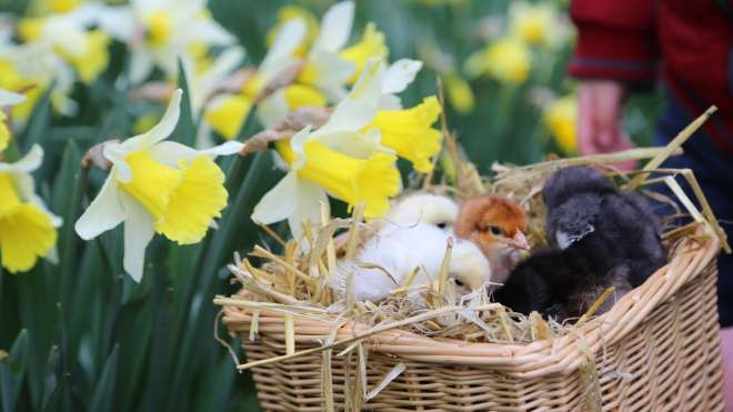 easter chicks at the farm