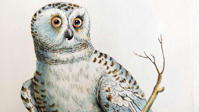 Engraving of owl, Aluco diurnis, Plate LXXXXIII in Vol. 1 of Manetti, 1767-76