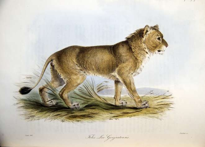 Lithograph of an Asian lion by Edward Lear, 1835