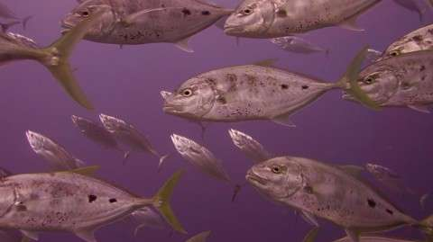 Jacks; Tuna; hunting; baitfish