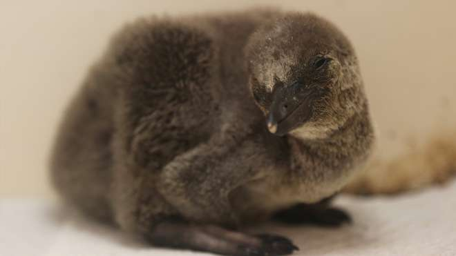 Penguin chick at ZSL London Zoo