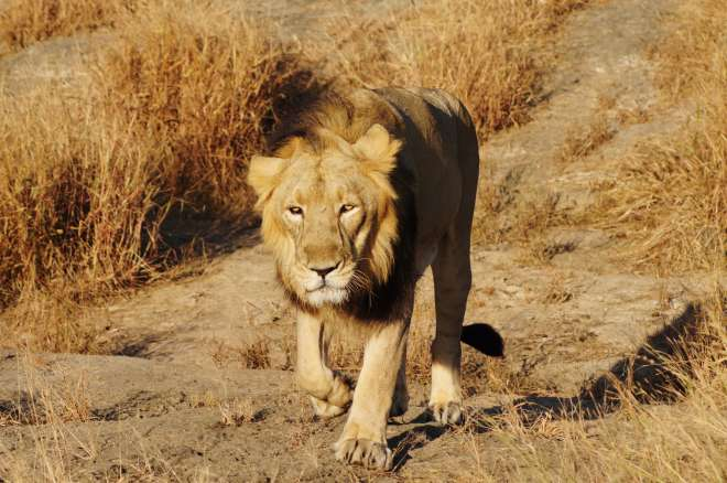 Asian lion in India