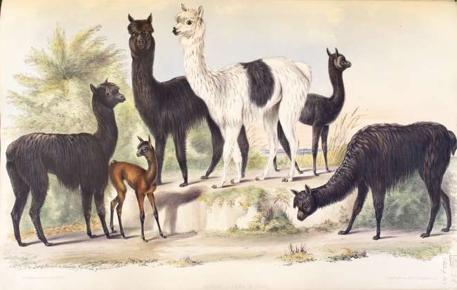 Lithograph of alpacas drawn from life July 23 1844 by B. Waterhouse Hawkins at Knowsley Hall, Plate LII