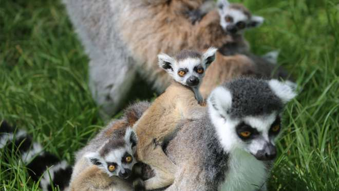 Lemur babies on the back of their mum at ZSL Whipsnade Zoo