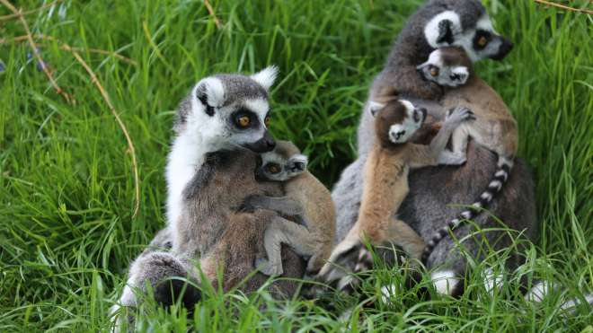 Baby lemurs on their mothers at ZSL Whipsnade Zoo