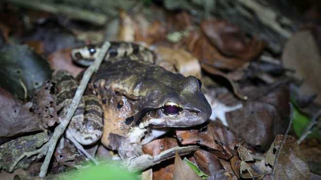 A released mountain chicken frog in montserrat