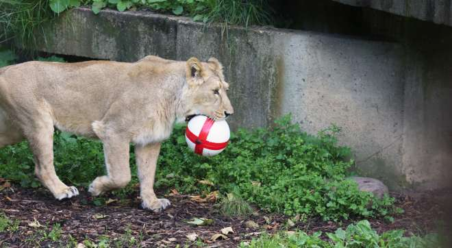 Asian lion with a England football
