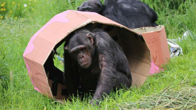 Grant the chimp hides inside his birthday cake.