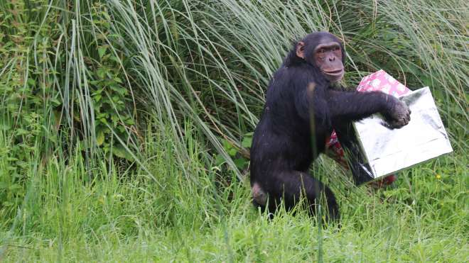 Phil the chimp runs away with his birthday presents