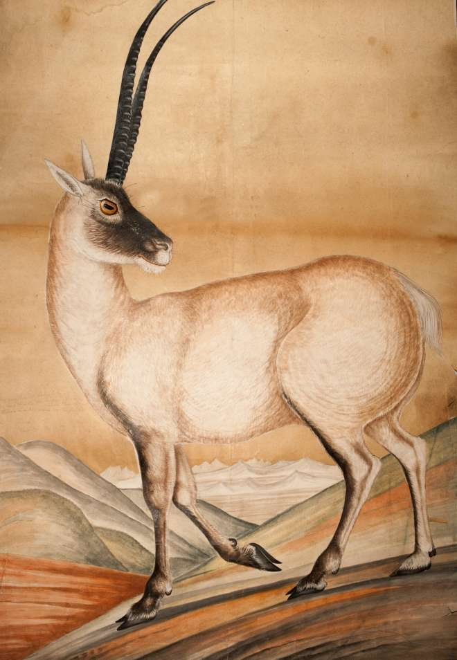 Brian Houghton Hodgson's Painting of the Tibetan Antelope, or Chiru, c 1840.
