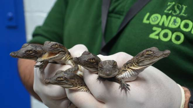 All six Philippine crocodiles - first UK bred.