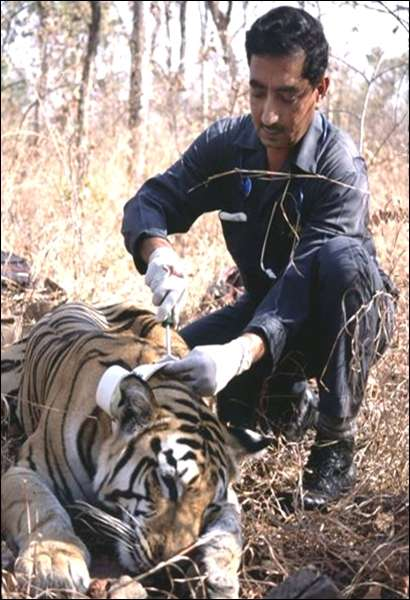 Tiger field work