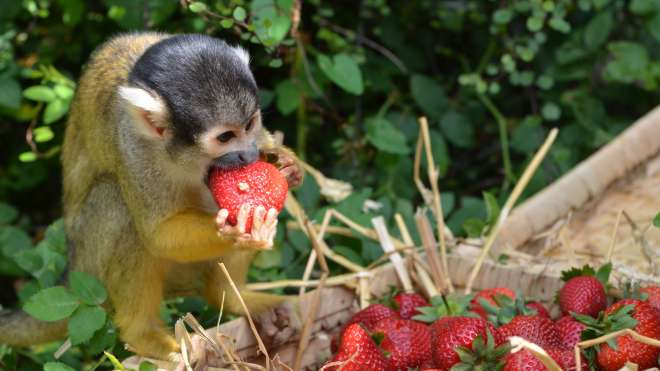 Squirrel monkey with strawberry
