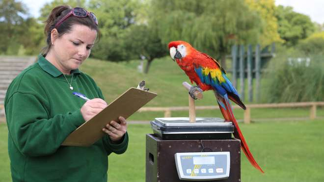 Macaw is weighed at ZSL Whipsnade Zoo