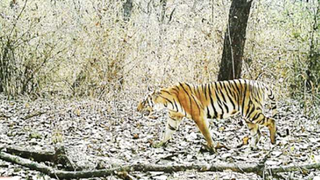 Tiger in Salakpra Wildlife Sanctuary