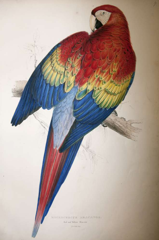 Red and yellow macaw. Macrocercus aracanga, lithograph by Edward Lear from Illustrations of the family of Psittacidae, or parrots, the greater part of them species hitherto unfigured, 1832.