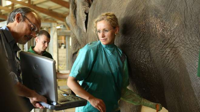 Azizah the elephant gets an ultrasound from the vet team