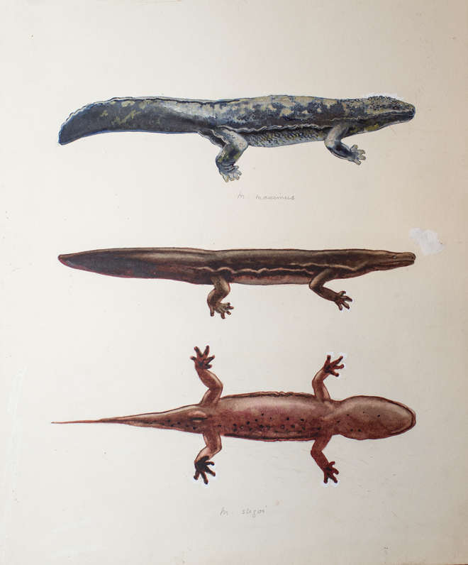 Watercolour of giant Chinese salamander possibly to accompany Boulenger's 1924 paper in PZS but illustration not published
