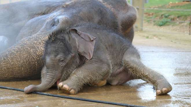 Baby elephant Sam at ZSL Whipsnade Zoo